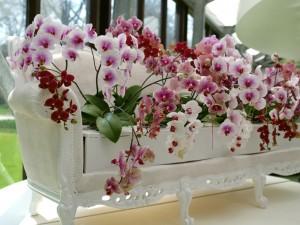 Orkideoja Keukenhofissa